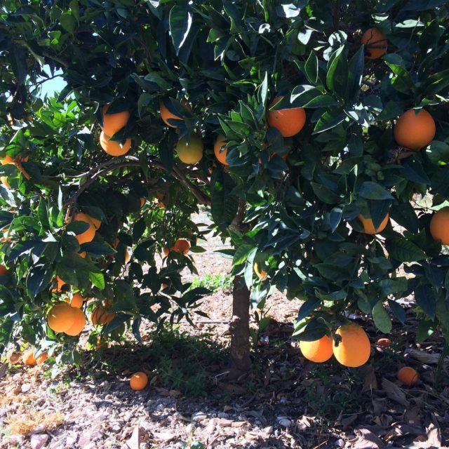 Tiempo de zumos con naranjas ecolgicas recin cogidas delahuertaalatienda lareservadelvinalopohellip